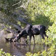 Isle Royale Moose Watch
