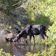 Isle Royale Moose Watch