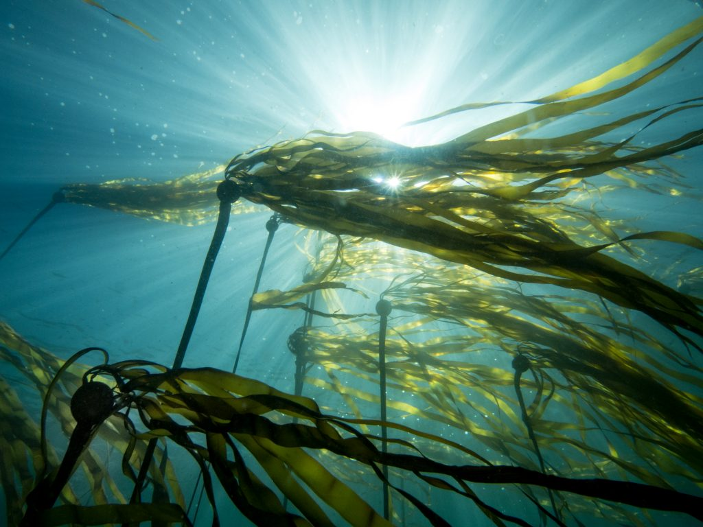 Bull Kelp, a brown seaweed used to produce alginates, can grow as much as 2 feet per day. Photo credit: Jackie Hindering, www.themarinedetective.com