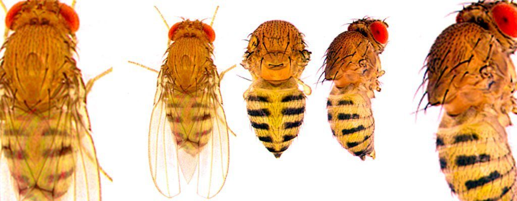 five fruit flies with striped bodies are shown. The genes that govern abdominal colors and patterns in fruit flies may provide insight into human cancer genes.