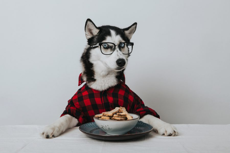 A real Husky Dog sitting at a table covered with a white tablecloth, with a plate and bowl full of dog biscuits in front of it The dog is wearing a red and black checked flannel shirt, and wearing black horn-rimmed glasses