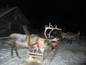 Reindeer Sledding in Finland
