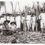 Beginning of the harvest. Kïlauea Sugar Plantation, Kaua'i, 1912. H. W. Thomas photograph album. Hawaiian Historical Society