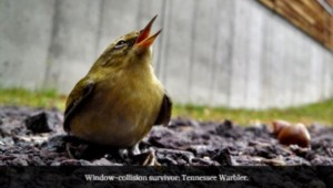 TennesseeWarbler.1_2